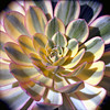 Polychromatic (Scott Holcomb) Tags: california goldengatepark 6x6 mediumformat 120film sanfranciscoconservatoryofflowers kowasix kodakektar100film epsonperfectionv600 photoshopdigitalization kowalenss135150lens t2extensiontube
