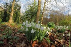 Snowdrops @ Addington Woods (Adam Swaine) Tags: uk flowers winter england macro english nature canon woodland countryside kent flora seasons snowdrops 2016 swaine btitain