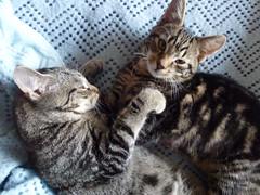 Masai and Mara ! (Mara 1) Tags: cats pets animals faces stripes tabby kittens indoors