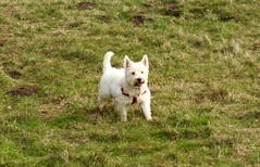 Anston Stones (Artybee) Tags: dog terrier westhighlandwhiteterrier quarry westies northanston anstonstones