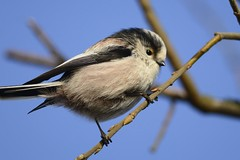 _HNS6731 Staartmees : Mesange a longue queue : Aegithalos caudatus : Schwanzmeise : Long-tailed Tit