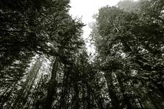 Uitzicht Bostoren (MJ Klaver) Tags: tree nature pine vanishingpoint bomen view den arboretum wideangle pines 1020 kiefern pinetum pinus sigma1020mm putten 100x verdwijnpunt sigma1020mmf35exdchsm landgoedschovenhorst bostoren image40100 100xthe2016edition 100x2016