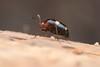 Scaphidiinae. Shining fungus beetle. 5mm (David Ball.) Tags: singapore staphylinidae canon270ex scaphidiinae shiningfungusbeetle