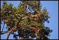 Cullenia sp.  Shola Forest Tree (Indianature st2i) Tags: india december tea tamilnadu westernghats teaestate 2016 2015 valparai indianature anamalais indiragandhiwildlifesanctuary anamallais anamalaitigerreserve
