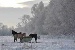 Meadow (C.Dover) Tags: paarden winter2010
