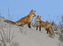 Red Fox pair on sand dune (Mawrter) Tags: red wild two nature animal canon mammal outdoors newjersey sand couple afternoon outdoor wildlife pair dune nj fox sanddune mammals warmlight ibsp redfox twoanimals islandbeachstatepark specanimal canon7dmarkll susanliddle canonef300mmf28lisllusm