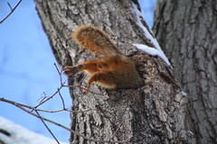 260/365/2816 (February 26, 2016) - Squirrels in Snowy Ann Arbor at the University of Michigan (February 26, 2016) - Explored! (cseeman) Tags: squirrels annarbor michigan animal campus universityofmichigan umsquirrels02262016 winter eating peanut acorns februaryumsquirrel snow snowy knothole squirrelcondo squirrelnest knotholehouse nest cavity cavitynest squirrelcavitynest treecavity umsquirrelcondo02262016 2016project365coreys yeareightproject365coreys project365 p365cs022016 356project2016 movetheworld flickrfriday gobluesquirrels umsquirrel foxsquirrels easternfoxsquirrels michiganfoxsquirrels universityofmichiganfoxsquirrels