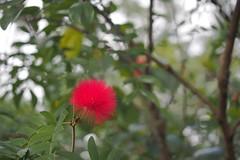 P2103870 (deception.tw) Tags: leica flower hsinchu taiwan olympus panasonic   45mm omd  em5  hsinchucity leicadgmacroelmarit12845