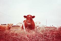 ireland, october 2014 (kodacolorframes) Tags: travel ireland film europe cows expired yashicat4 ferraniasolarisfgplus100