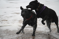 They Are Playing. Honest! (popmanstensgaard) Tags: dog pets dogs labrador labs blacklabrador blacklabs
