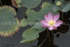 38906 Lotus (Nelumbo nucifera) flowering in an old tin mining pond, Perak, Malaysia. (K Fletcher & D Baylis) Tags: plant flower pond flora lotus malaysia perak aquaticplant indianlotus sacredlotus nelumbonucifera beanofindia nelumbiumspeciosum february2016