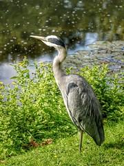It's alive! ( Explored ) (S Cansfield) Tags: park summer lake bird london heron nature lumix pond wildlife panasonic explore hyde m43 explored 45150mm gx1 microfourthirds