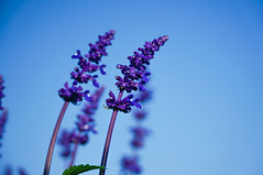 DSC03172 (mb10001114) Tags: flower blossom sony taiwan taichung        nex5t selp18105g epz18105mmf4g jongsheflowermarket