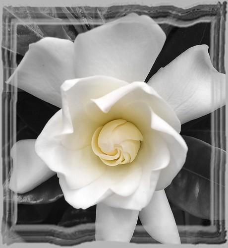 ~~ White Jasmin Flower ~~
