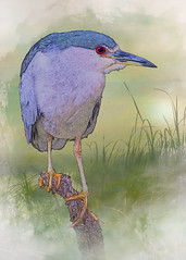 """Black-crowned Night Heron"" by Patti Deters (Patti Deters) Tags: blue usa painterly bird art texture feet vertical misty composite watercolor photography hotel sketch cafe branch close legs florida unitedstatesofamerica cartoon lobby everglades redeye perched childrensart childart blackcrownednightheron nightheron blackcrowned cafeart pattideters"
