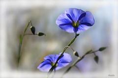 Fleurs de lin (phidel60) Tags: flowers france flower macro fleur fleurs lin fleurssauvages macrophotographie