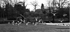 Feedig frenzy (Ergin Yildizoglu) Tags: park street lake birds spring pond child feeding mother