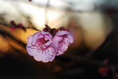 plumSun_20160213_2 (faeparsons) Tags: flowers blossoms plumblossoms