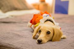 IMG_1950 (yukichinoko) Tags: dog dachshund yukata 犬 kinako 浴衣 ダックスフント ダックスフンド きなこ