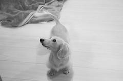 IMG_3861 (yukichinoko) Tags: dog dachshund 犬 kinako ダックスフント ダックスフンド きなこ