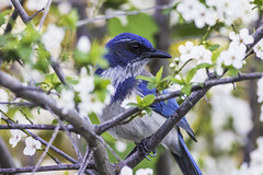 Western Scrub-Jay (julesnene) Tags: california flowers blue bird garden backyard plum jays backyardbird westernscrubjay aphelocomacalifornica canonef400mmf56lusmlens julesnene juliasumangil canon7dmarkii canon7dmark2 longtailedjays