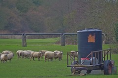 1217-23L (Lozarithm) Tags: sheep studley calne k50 55300 pentaxzoom hdpda55300mmf458edwr