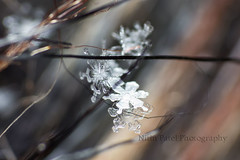 IMG_8680 (nitinpatel2) Tags: snowflakes patel nitin