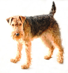 Welsh Terrier (Rennett Stowe) Tags: greatbritain light brown cute london turn training fun focus funny long slim nappy champion diversity commons whitebackground curly stare curled welsh paws tap ironic staring curlyhair fetch turning quirky akc lack welshterrier dogslife animallife signup dogportrait blacknose americankennelclub cutenose dogbrown brownonwhite flatter littlenose chesterengland portraitlighting championdog tanbody commonscreative dogwallpaper turnedup terrierblack tanandbrown trending naturaltan feetpaws dogportriats browncurls akcdog diversefriends dogimportation purebredwelshterrier akcwelshterrier dopgsdogsblack terriercreative dogcreative animalcreative terrierwalesnoseearstailanimal welshterrierportrait
