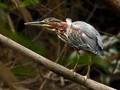 On the hunt (windyhill623) Tags: bird animals costarica outdoor 100v10f swamp animalplanet avian herons wetland ardeidae peninsuladeosa greenheron butoridesvirescens golfodulce puertojimnez