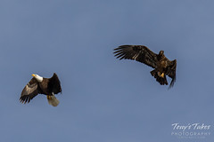 Bald Eagles battle for breakfast - Sequence - 42 of 42