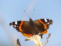 Admiral [ Red Admiral ] ( Vanessa atalanta ) (ritschif) Tags: butterfly natur redadmiral admiral vanessaatalanta tagfalter dagfjrilar