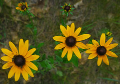 Black-Eyed Susan (Rudbeckia hirta) (wackybadger) Tags: flower yellow nikon blackeyedsusan rudbeckiahirta tnc thenatureconservancy marquettecounty nikond60 nikon1855mmf3556gafsvr wisconsinstatenaturalareawisconsin pagecreekmarshsna sna330