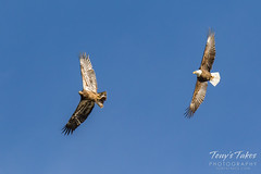 Bald Eagles battle for breakfast - Sequence - 2 of 42