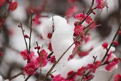 雪持ちの紅梅 (nobuflickr) Tags: flower nature japan kyoto 日本 花 japaneseapricot ウメ prunusmume thekyotobotanicalgarden 京都府立植物園 バラ科サクラ属 20160301dsc02526