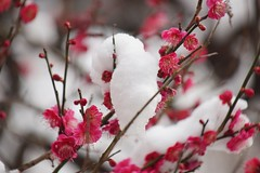 (nobuflickr) Tags: flower nature japan kyoto   japaneseapricot  prunusmume thekyotobotanicalgarden   20160301dsc02526
