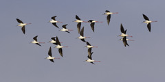 Le Printemps est l, ne lui tournons pas le dos (MBadia) Tags: bird birds aves chasse echasse chasseblanche pssaros