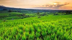 there's a little bit of something me (chocoorange) Tags: morning bali green field sunrise indonesia rice padi jatiluwih terasering