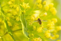 On Tiptoes (Lisa Bell Jamison) Tags: flower macro yellow insect spring pollen hoverfly