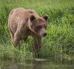 Grizzly Bear (Turk Images) Tags: britishcolumbia bears mammals grizzlybear ursidae breedingseason ursusarctoshorribilis coastalrainforest khutzeymateengrizzlybearreserve ktzimadeengrizzlybearsanctuary greatrainforest maritimecoast