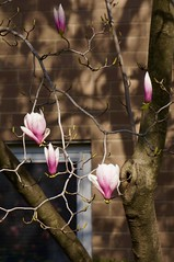 Magnolia 2016 (Z!SL) Tags: city newyorkcity flowers urban newyork flower nature brooklyn spring flora cityscape dof unitedstates bokeh sony depthoffield mirrorless bokehwhores sonyphotographing emount minoltaemount sel55210 nex5r