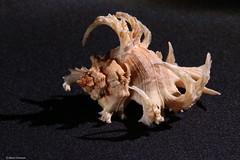 Murex cornucervi (Marco Ottaviani on/off) Tags: ocean sea nature animals canon mare natura collection animali mollusc oceano collezione molluschi muricidae marcoottaviani