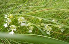 Western Prairie Fringed Orchid (Platanthera praeclara) (John Scholze) Tags: orchid national western fringed prairie grassland platanthera threatened sheyenne praeclara