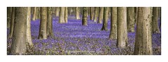 A herd of Elephants invade the Bluebell wood . . . (frattonparker) Tags: bluebells woodland sussex raw crop beech tamron28300mm nikond600 btonner frattonparker lightroom6