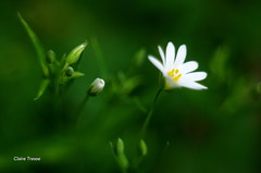 Fleur des bois (clairetresse) Tags: wood france flower macro nord savage isre