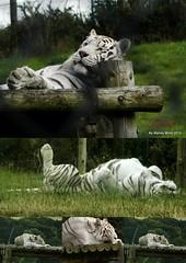 White tiger. (Tigeress blue) Tags: white animal tiger whitetiger wendyminto