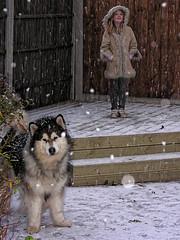Girl and dog enjoy snowfall (Bendigoish) Tags: snow girl garden flake malamute hood alaskan