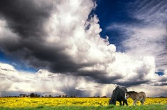 Grazing (bainebiker) Tags: uk sky horses clouds landscape countryside farmland lincolnshire agriculture hdr rapeseed foal marketdeeping canonef24mmf14liiusm