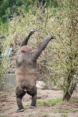 2016-03-31-12h35m26.BL7R3970 (A.J. Haverkamp) Tags: amsterdam zoo gorilla thenetherlands artis dierentuin shambe httpwwwartisnl pobamsterdamthenetherlands dob04092011 canonef100400mmf4556lisiiusmlens