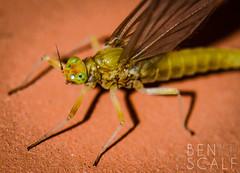 baby mayfly? ( ID needed please ) - 105mm macro (ben.scalf) Tags: ohio nature bug nikon cincinnati wildlife science micro dslr biology d3200