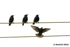 Birds on a Wire (samcol6) Tags: nature birds lumix flying wings sam wildlife south flight australia panasonic col bif fz150 samcol6